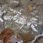 Leo Ranch - Pleistocene bone or tusk in stream bank